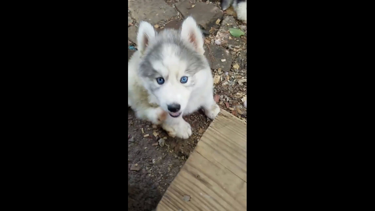 Filhotinho de husky siberiano, olha só que lindos estes animais!!!