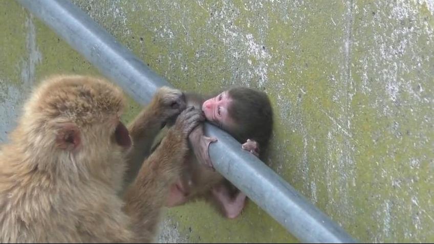Filhotinho de macaco fica preso pela cabeça