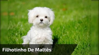 Filhotinho De Maltês, É Um Cachorrinho Muito Fofinho, Confira!