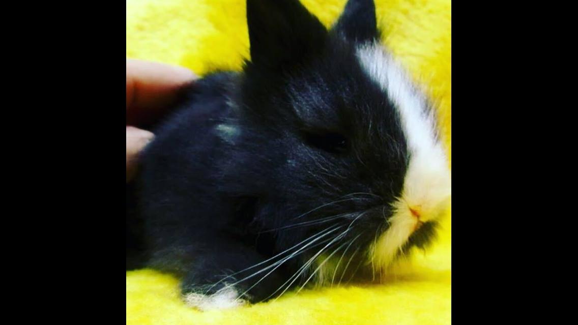 Filhotinho de mini coelho
