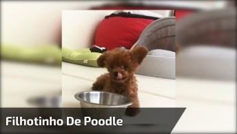 Filhotinho De Poodle Pedindo Comidinha, Olha Só Que Fofura!
