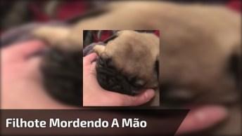 Filhotinho De Pug Mordendo A Mão De Seu Dono, Que Fofinho!