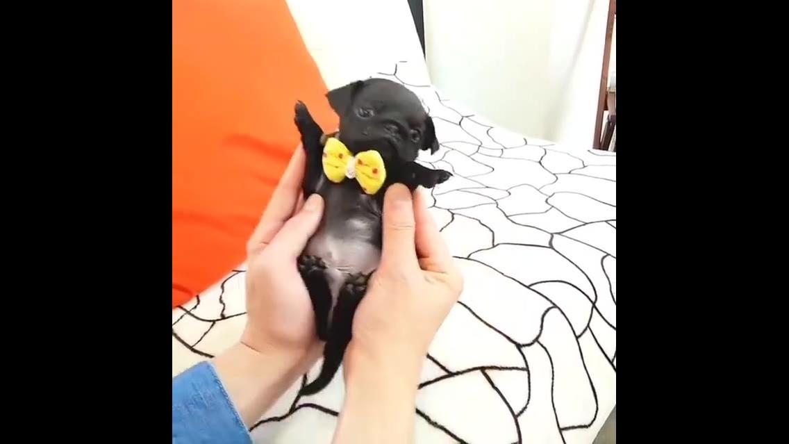 Filhotinho de pug, que coisinha mais fofinha