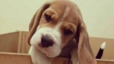 Filhotinhos De Beagle, Fofura Em Dose Tripla, Olha Só Que Lindinhos!