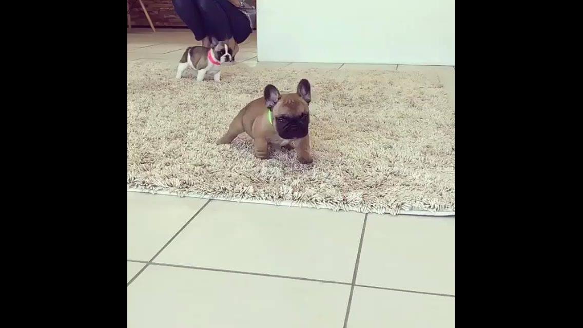 Filhotinhos de cachorros mais fofinhos que você já viu na vida