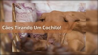 Filhotinhos De Cachorros Tirando Uma Soneca, Olha Só Que Lindinhos!