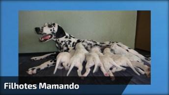 Filhotinhos De Dálmatas Mamando, Olha Só Que Coisinhas Mais Fofas!