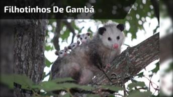 Filhotinhos De Gambá, Olhando Assim Não Parecem Tão Fedorentos!