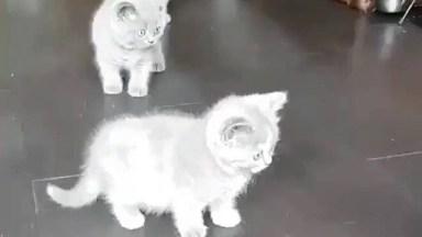 Filhotinhos De Gatinhos Cinzas, Veja Como São Curiosos E Fofinhos!
