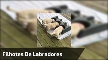 Filhotinhos De Labradores Comendo Ração, Olha Só Que Fome Essa Galerinha Tem!