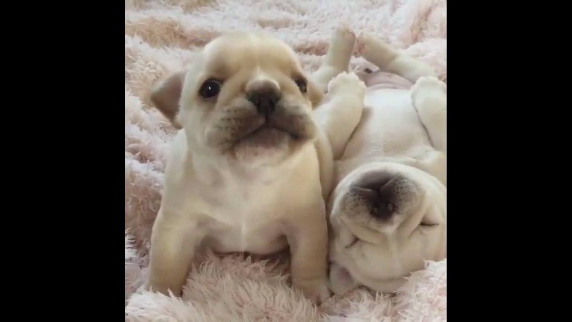 Filhotinhos de Pug brancos, quanta fofura em um só vídeo