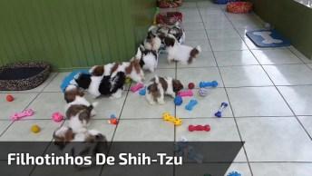 Filhotinhos De Shitsu Brincando, É Muita Fofura Em Um Único Lugar!