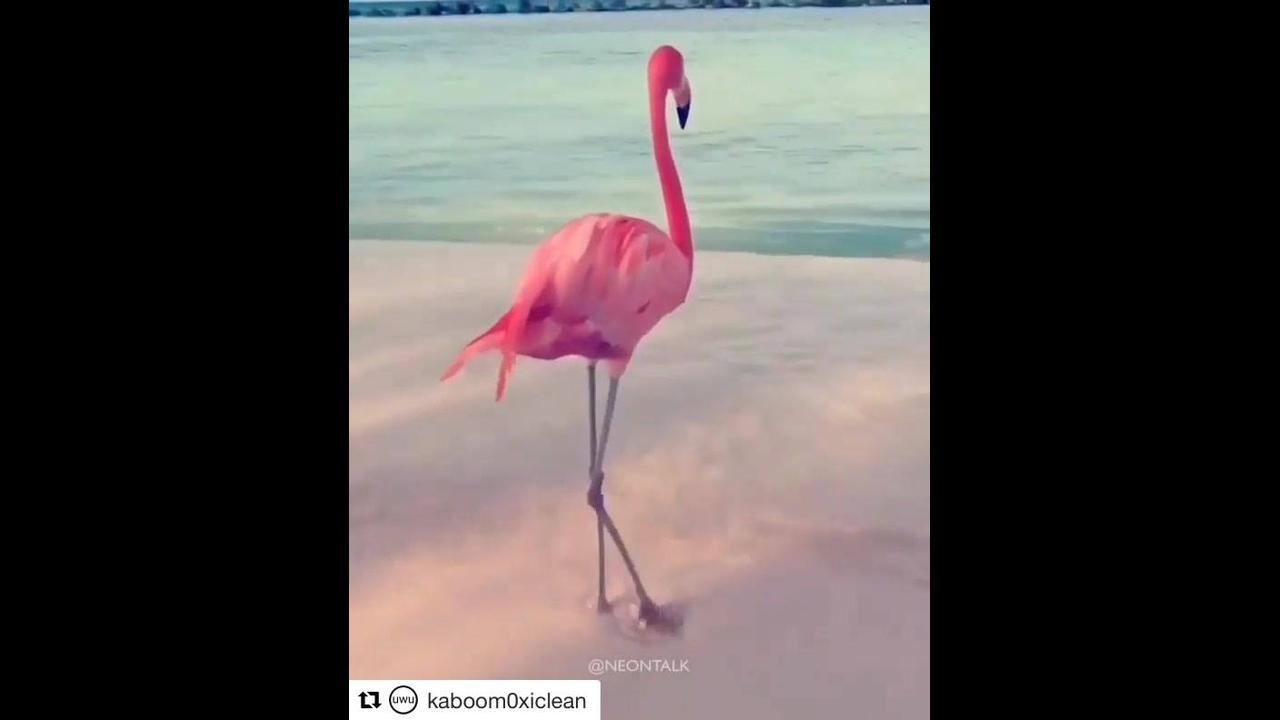 Flamingo dançando no mar, ele é um lindo animal
