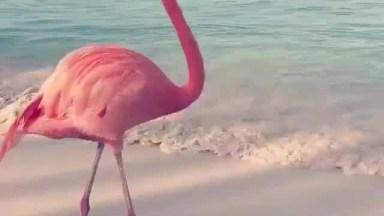 Flamingo Movimentando Os Pés Para Se Alimentar, Veja Que Interessante!