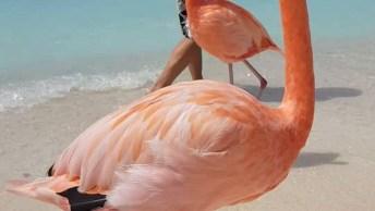 Flamingos Caminhando Na Praia Com As Pessoas, Que Cena Incrível!