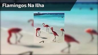 Flamingos Na Ilha Renaissance Em Aruba, Que Lugar Lindo!