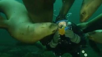 Focas Curiosas Ao Ver Mergulhador, Olha Só A Quantidade De Animal!