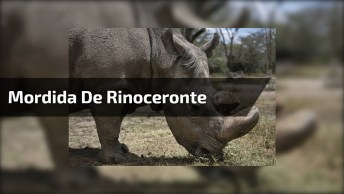 Força Incrível De Da Mordida De Rinoceronte, Ele Morde Sem Esforço A Melancia!