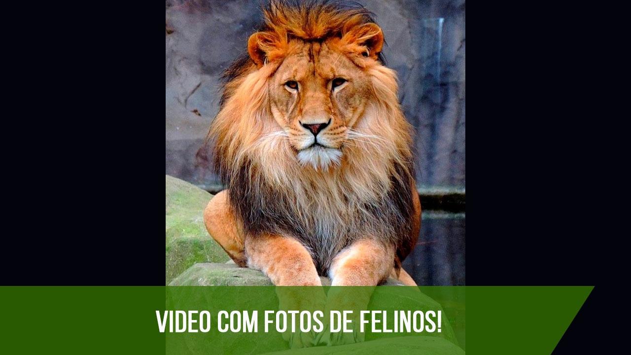 Fotos de felinos, os animais mais poderosos da natureza, confira!!!