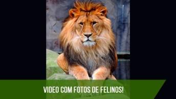 Fotos De Felinos, Os Animais Mais Poderosos Da Natureza, Confira!