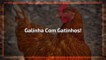 Galinha Adota Filhotes De Gato, Olha Só A Braveza Dela Por O Homem Esta Mexendo!
