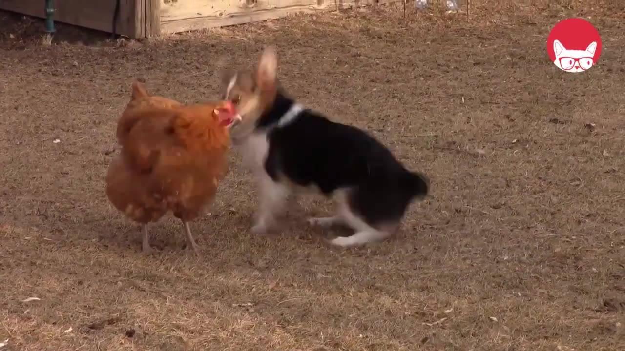 Galinha e cachorro brincando