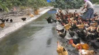 Galinhas Atravessando Córrego Voando, É Galinha Que Não Acaba Mais, Kkk!