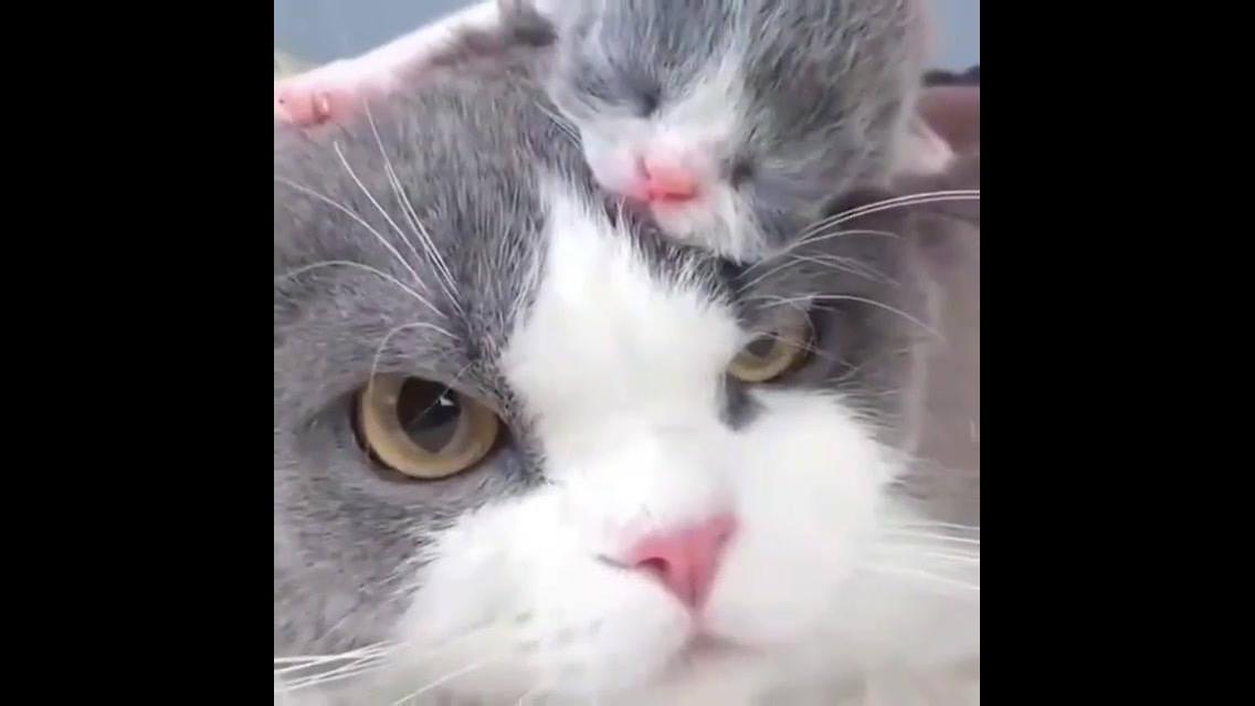 Gatinha com seu filhotinho na cabeça, olha só o tamaninho dele!!!