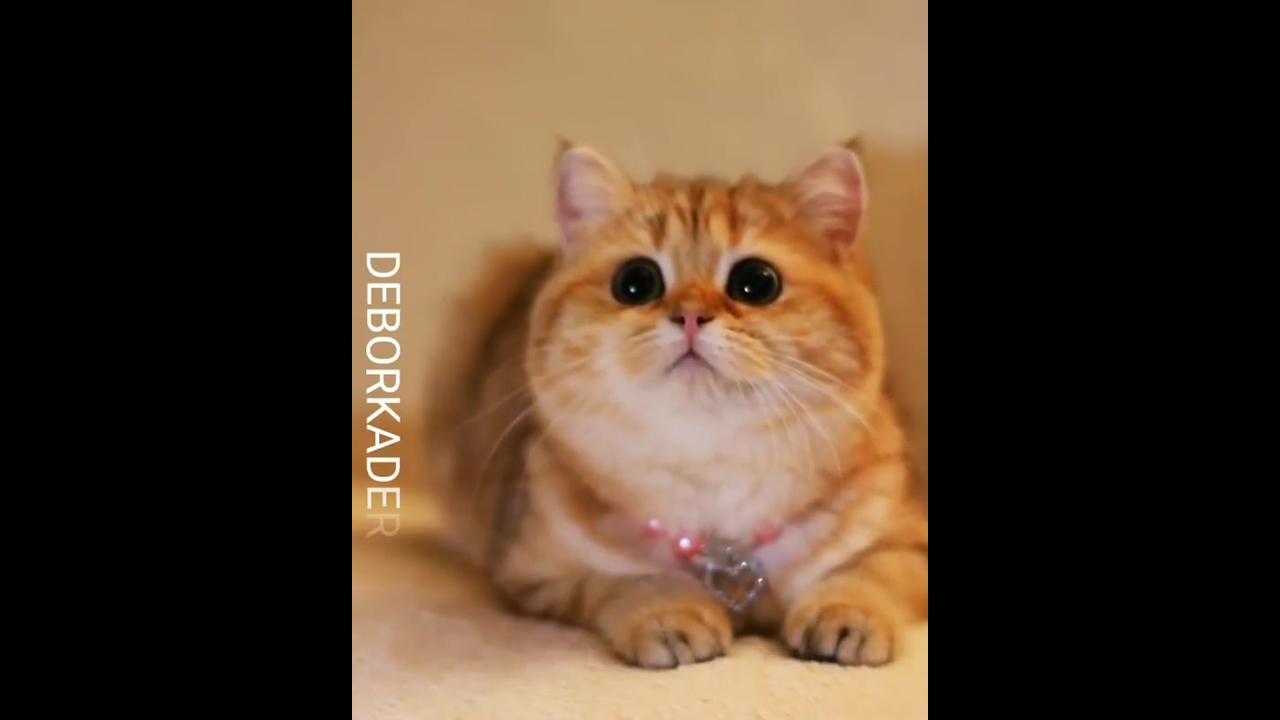 Gatinha linda com pelo amarelo e olhos pretinhos