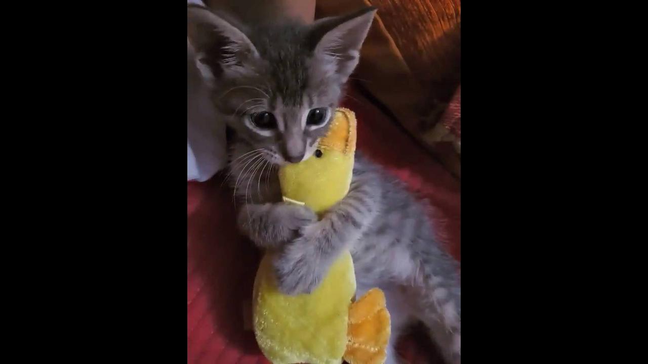 Gatinho abraçado com seu patinho de pelúcia