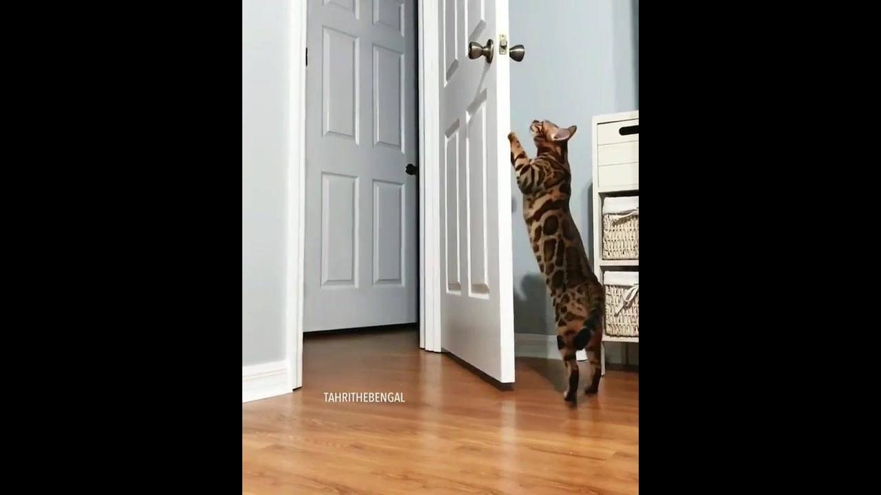 Gatinho abre e fecha a porta