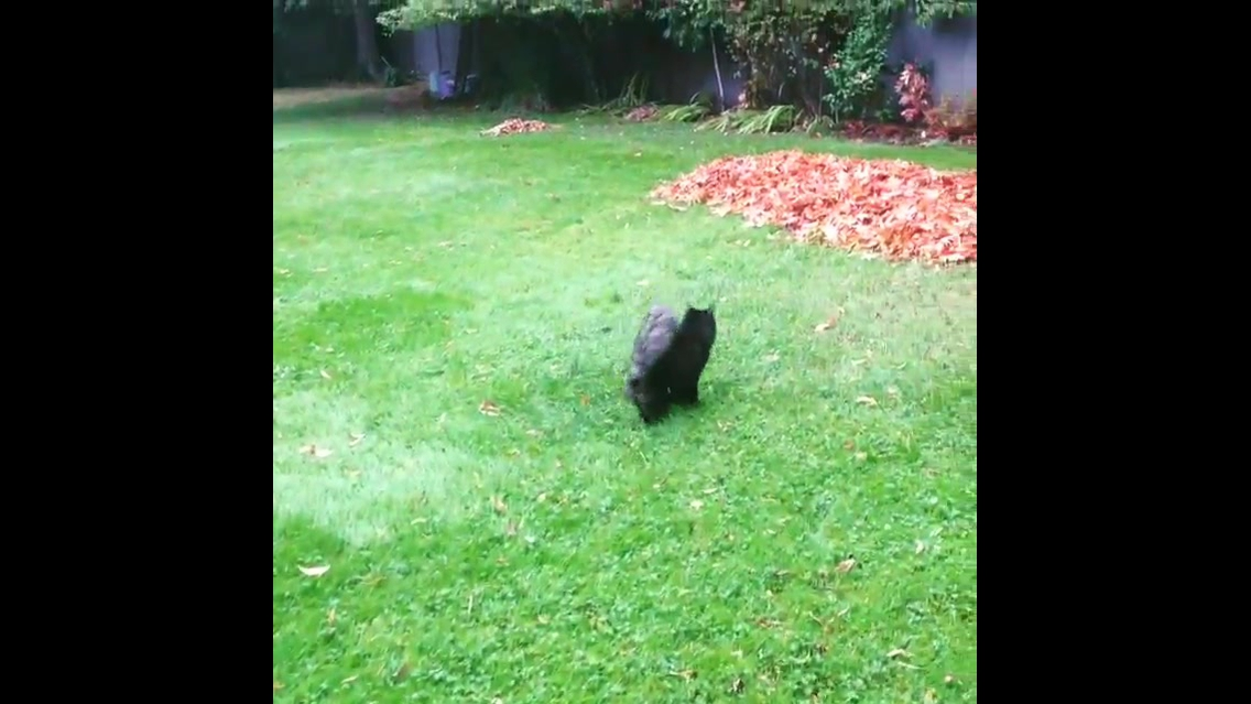 Gatinho andando na grama de forma engraçada