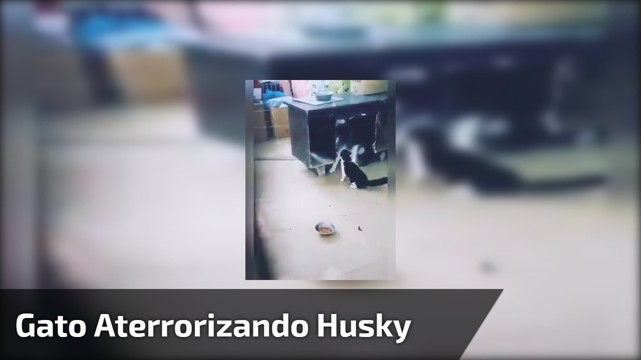 Gato aterrorizando husky
