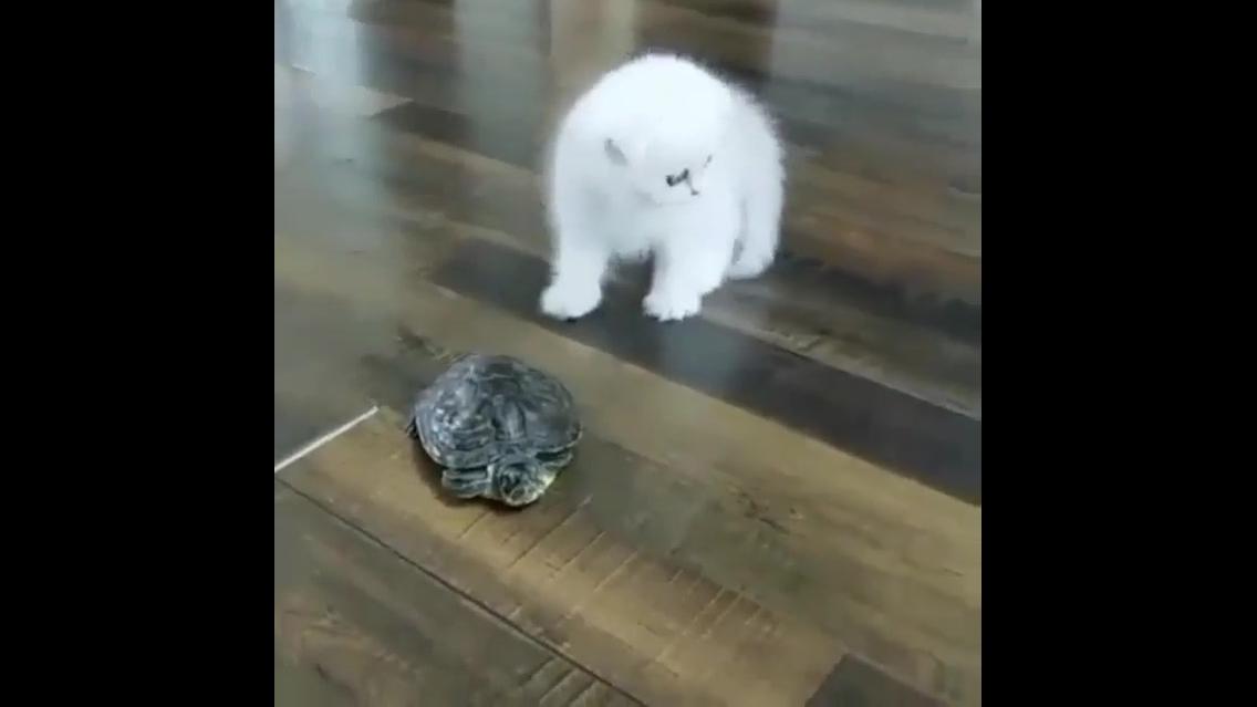Gatinho branco brincando com uma tartaruga