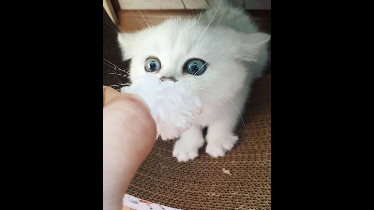 Gatinho branco - Lindo e bravo