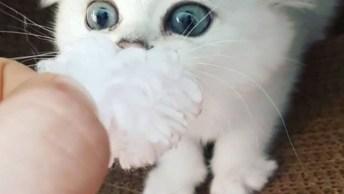 Gatinho Branco - Lindo E Bravo, Não Dá Para Saber O Que Ele É Mais!