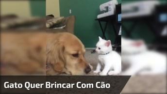 Gatinho Branco Tentando Fazer Cachorro Brincar Com Ele, Confira!