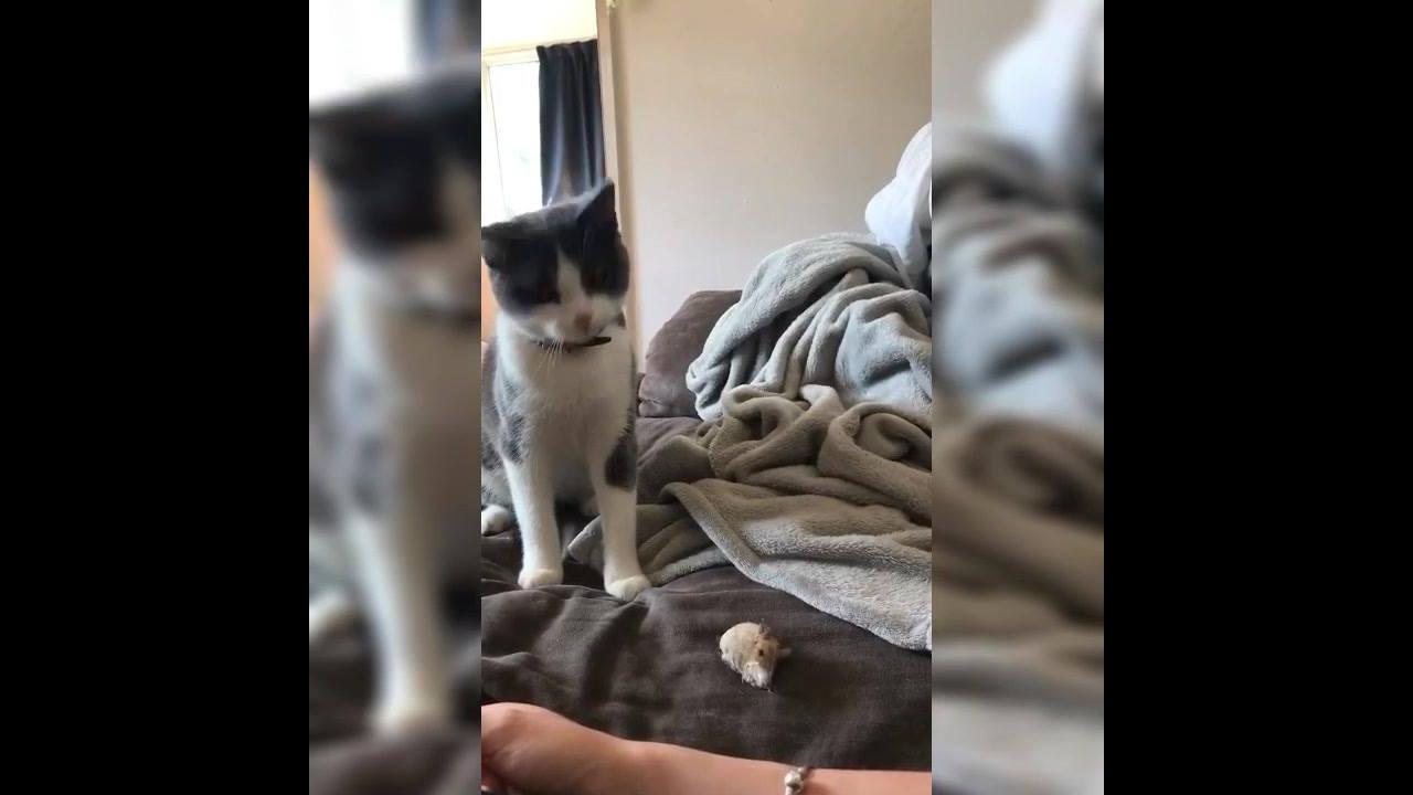 Gatinho brincando com a mamãe de pegar o ratinho de brinquedo