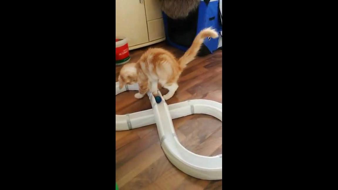 Gatinho brincando com bolinha em pequeno labirinto, é muito fofo!