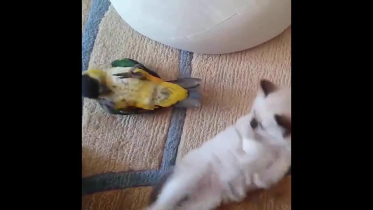 Gatinho brincando com passarinho, que dupla mais fofinha!