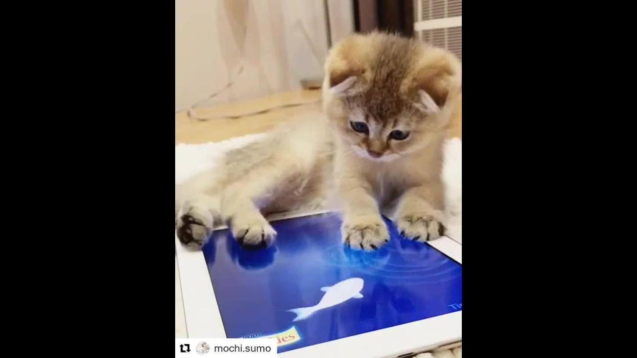 Gatinho brincando com peixinhos no Tablet, veja que fofura!!!