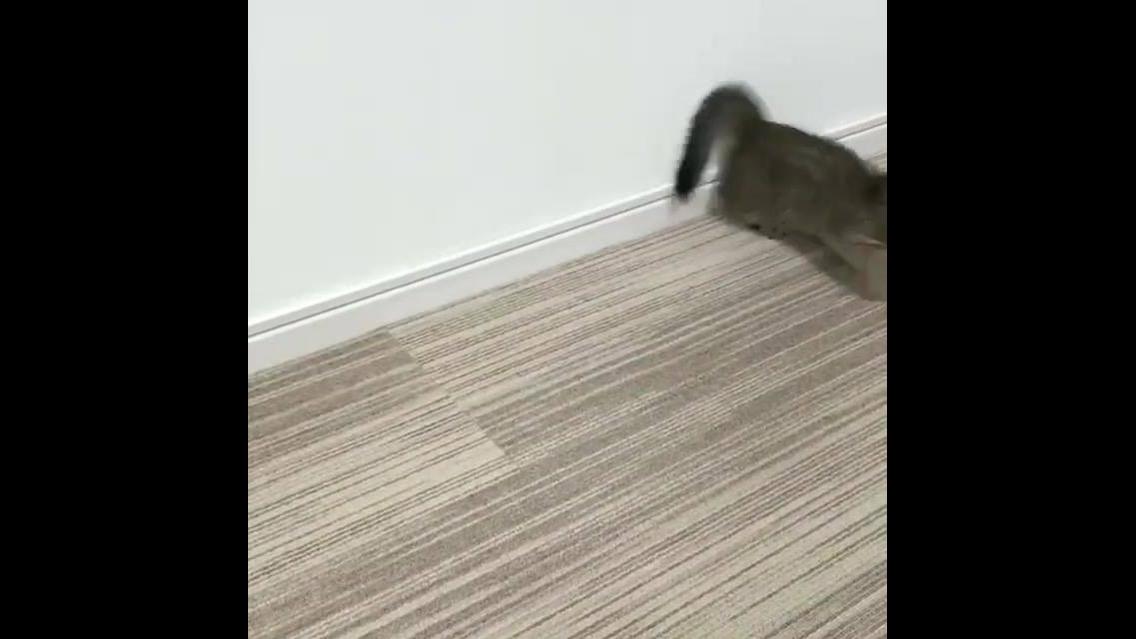 Gatinho da raça Munchkin, o gatinho mais fofinho que você já viu na vida!!!