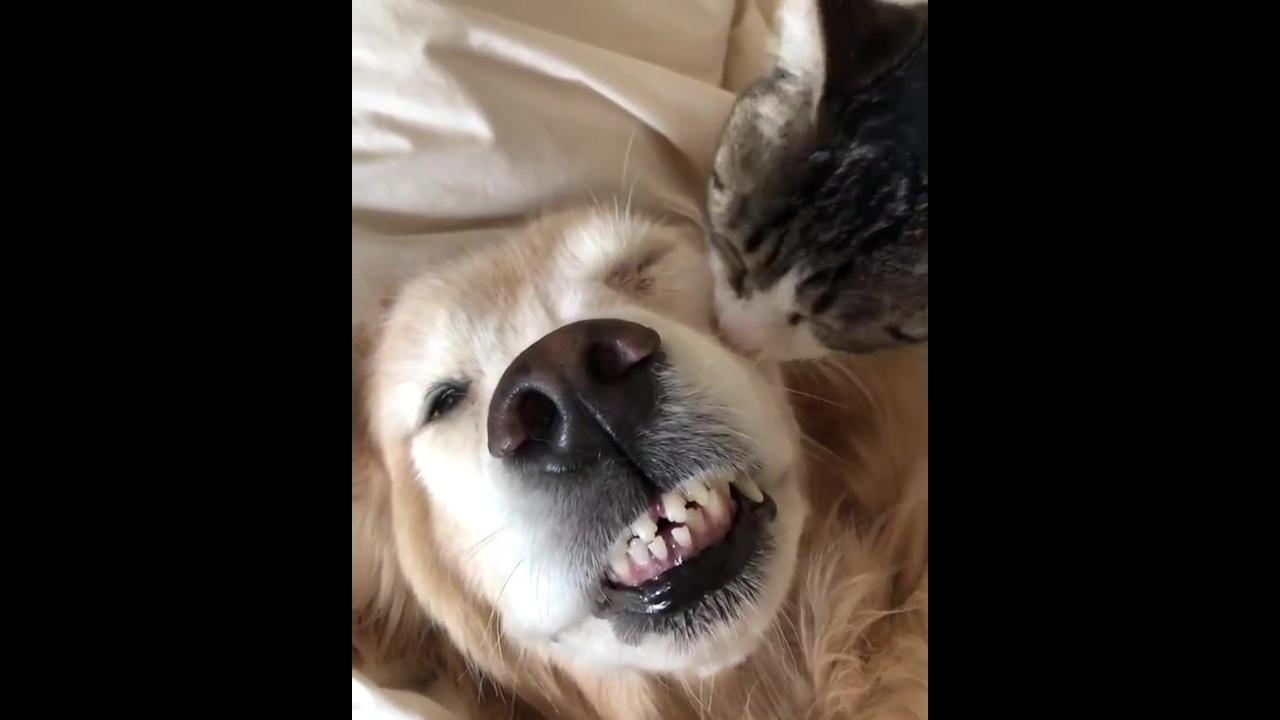 Gatinho dando banho em seu melhor amiguinho