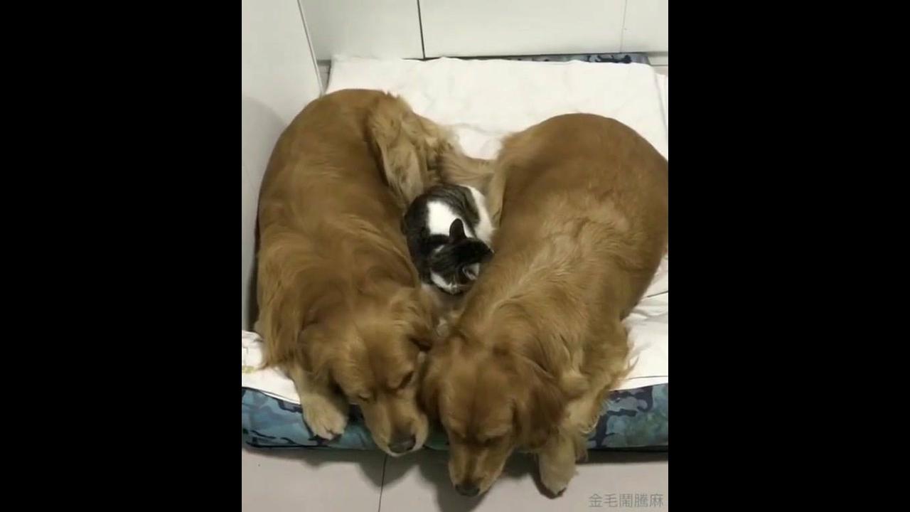 Gatinho dormindo no meio de dois cachorros.