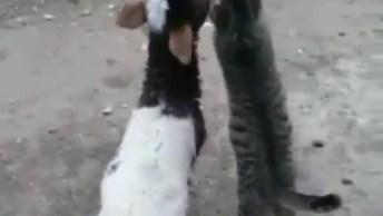 Gatinho E Cabrito Mamando Na Mesma Mamadeira, Olha Só Que Fofura!