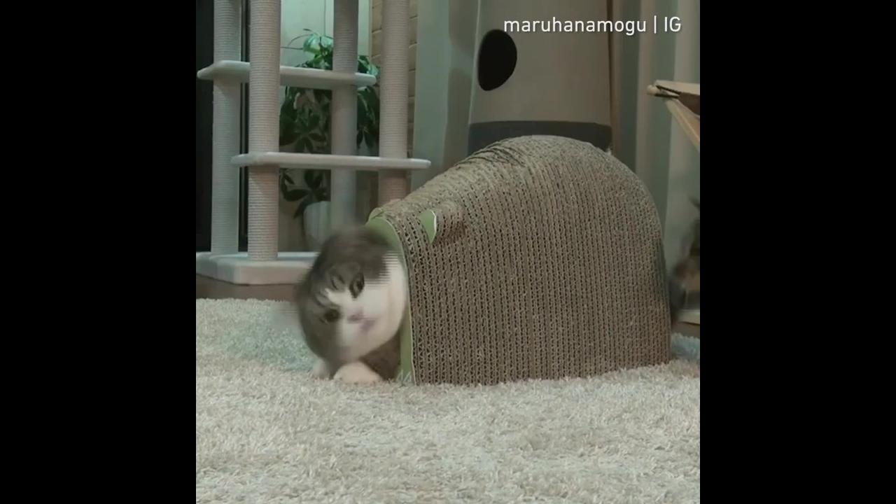 Gatinho em casinha que parece uma casca de tartaruga