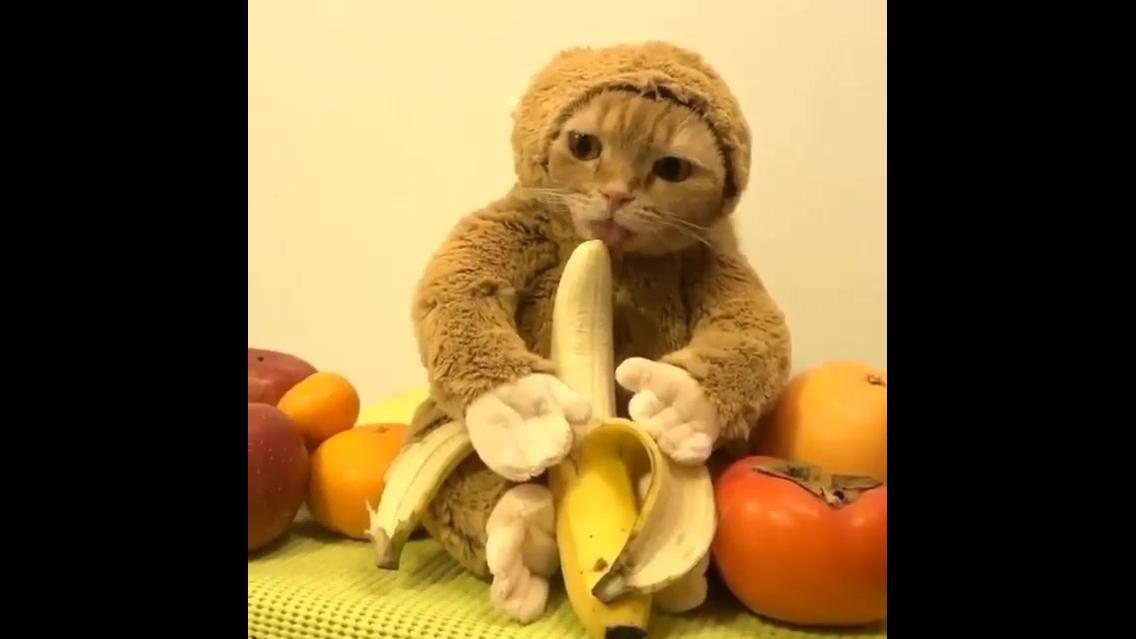 Gatinho fantasia de macaco lambendo uma banana