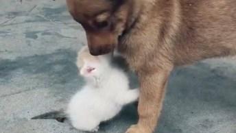 Gatinho Fazendo Carinho Em Cachorro, A Cena É Muito Linda!