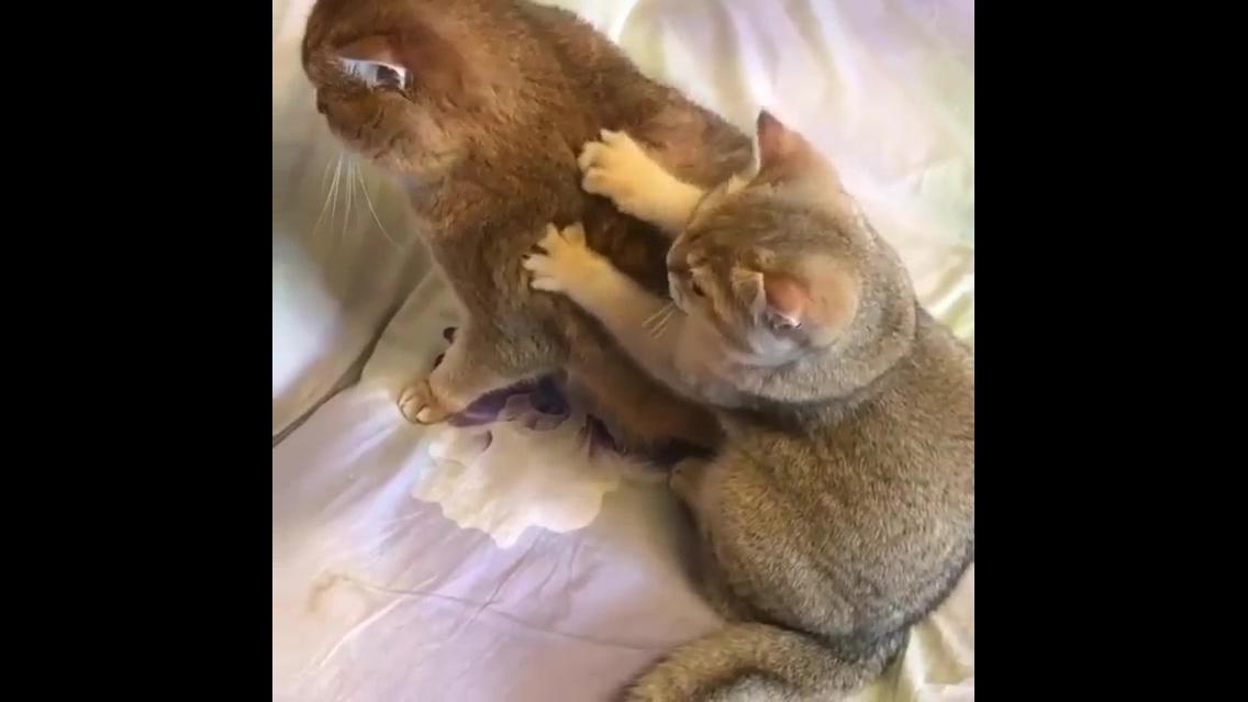 Gatinho fazendo massagem na mamãe, olha só que coisinha mais fofa!!!