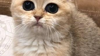 Gatinho Fofinho, Olha Só Estes Olhos Grandes Seguindo Brinquedo!